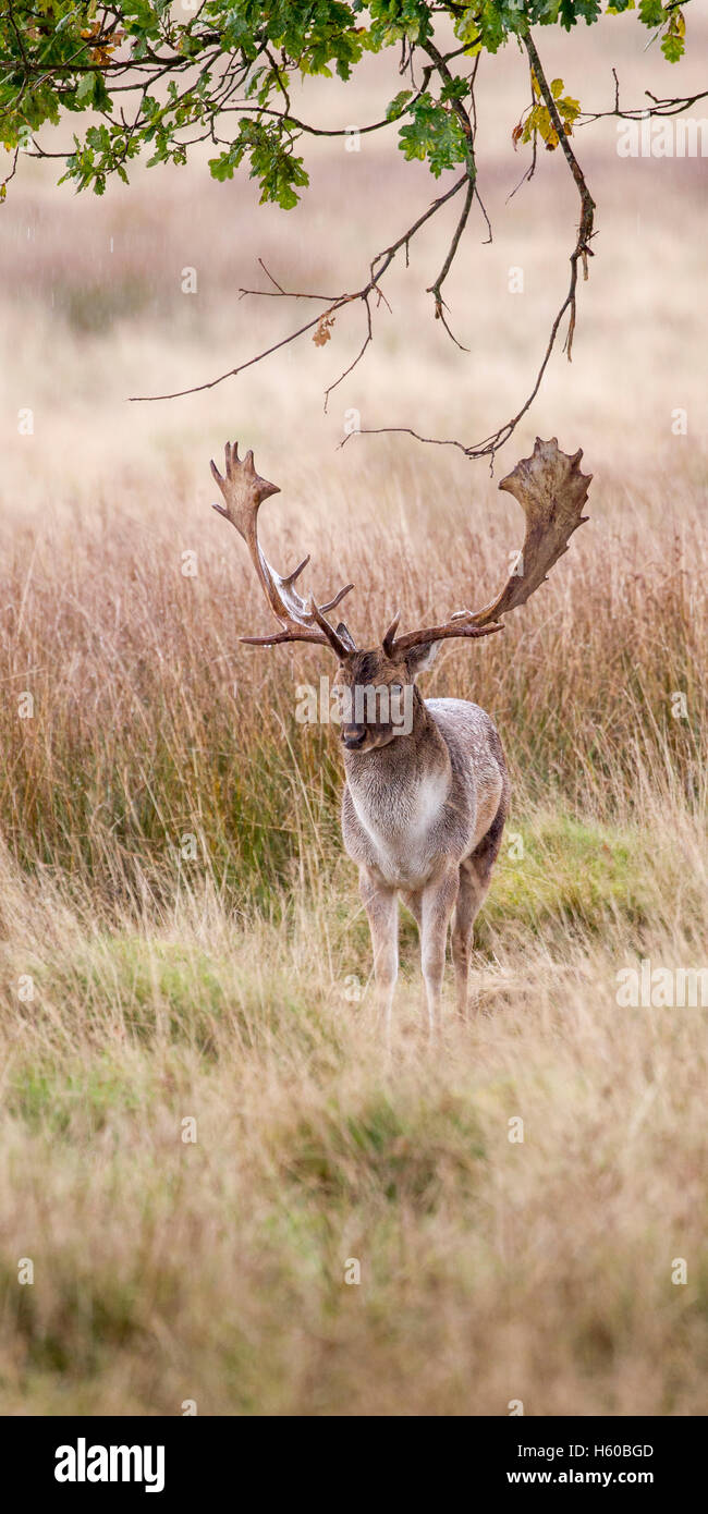 Fallow deer Dama dama single buck head on under trees,taken early morning during the rut at Petworth ,West Sussex - Stock Image