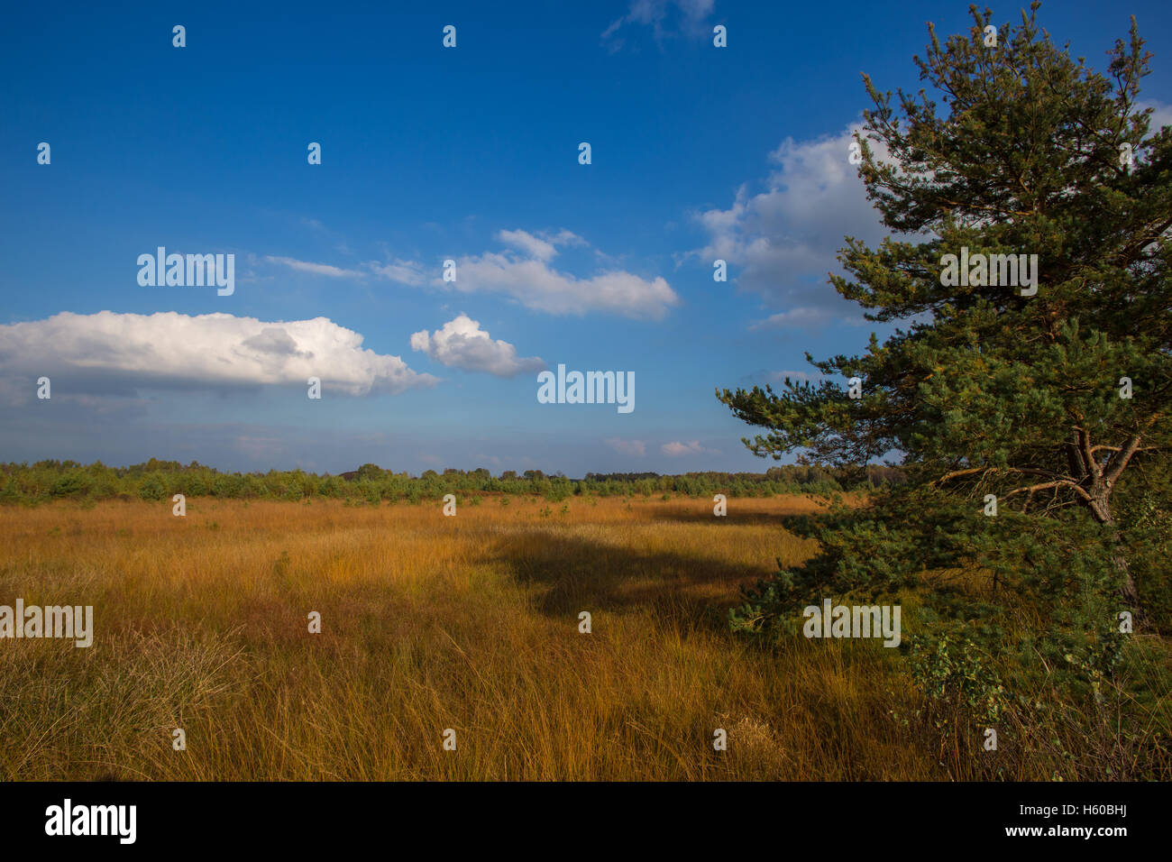 Marshland with conifer and blue sky with beautiful cumulus clouds in autumn season at afternoon - Stock Image