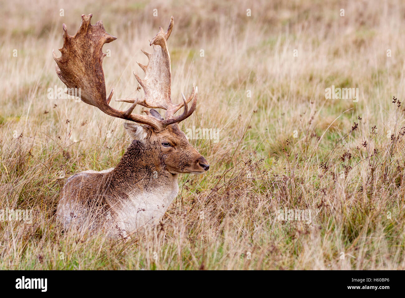 Fallow deer Dama dama buck laying in grassland taken early morning during the rut, Petworth West Sussex England - Stock Image