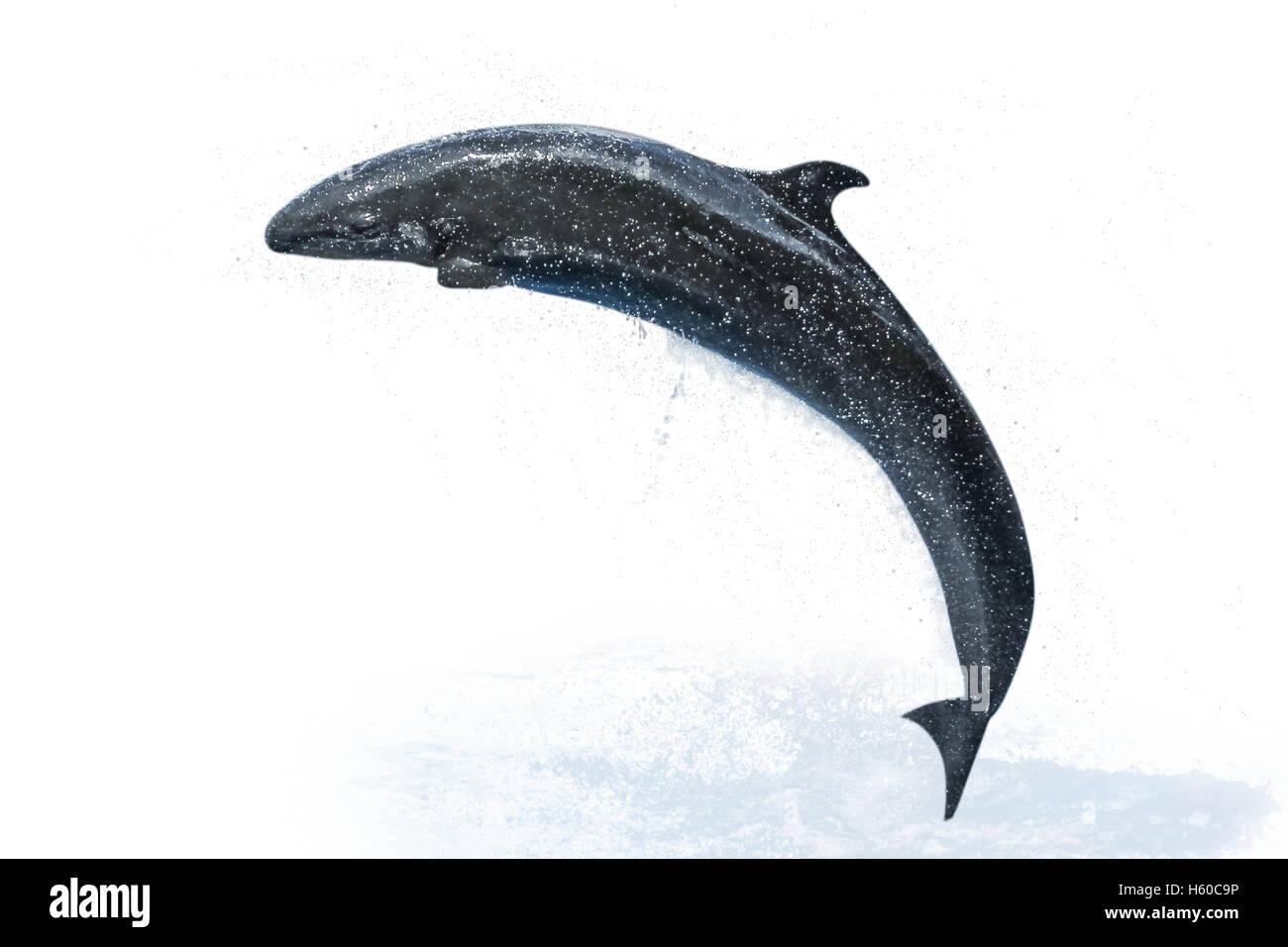 false killer whale isolated - Stock Image