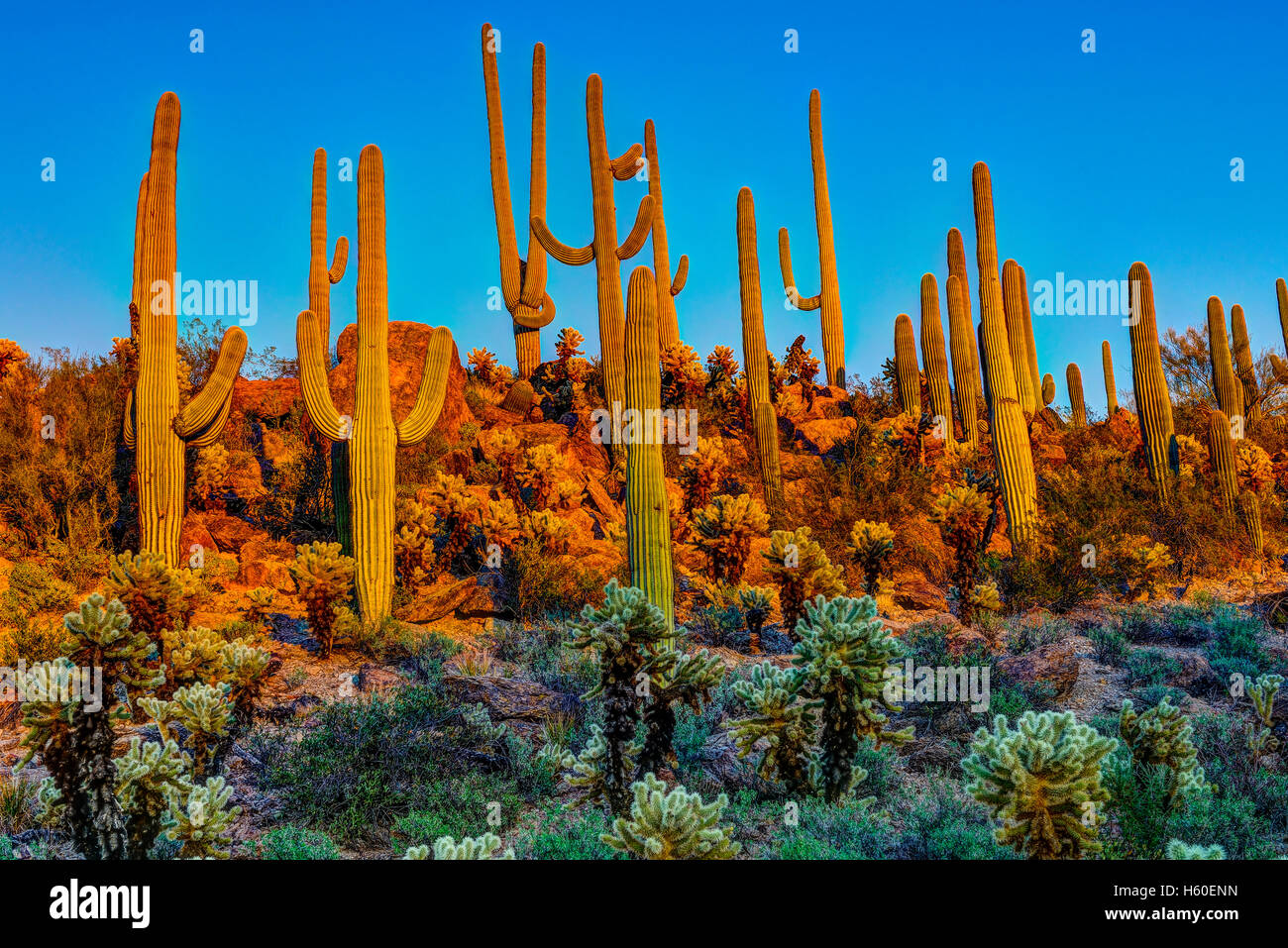 Saguaros at dusk - Stock Image