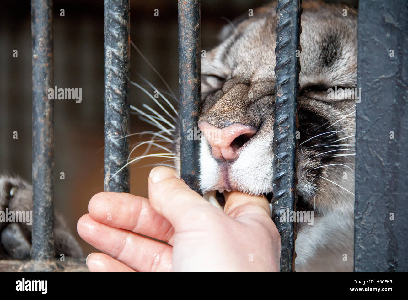 Lioness in the zoo biting human finger - Stock Image