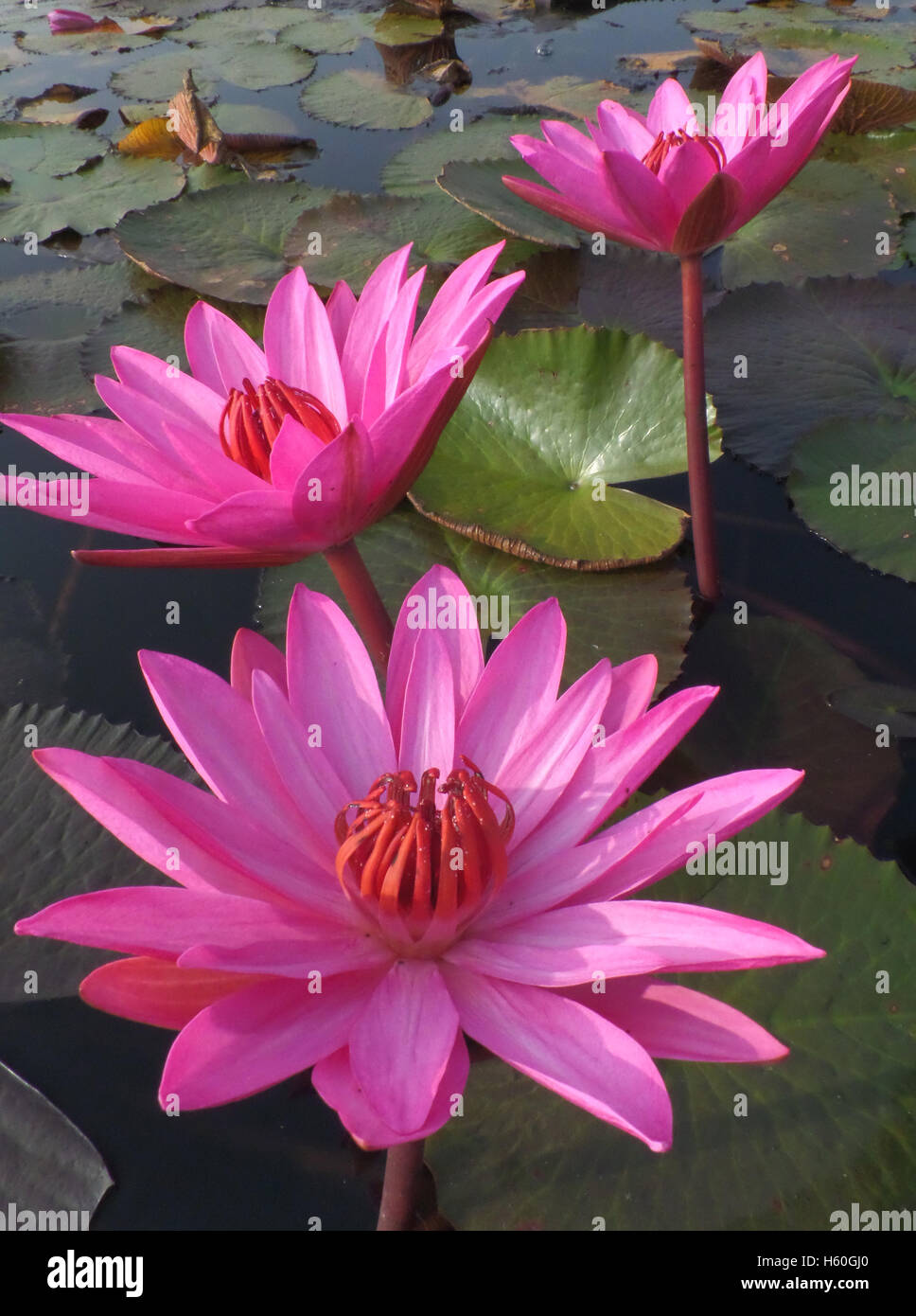 Pink lotus flowers stock photos pink lotus flowers stock images three blooming vivid pink lotus flowers in a lake vertical picture stock image izmirmasajfo