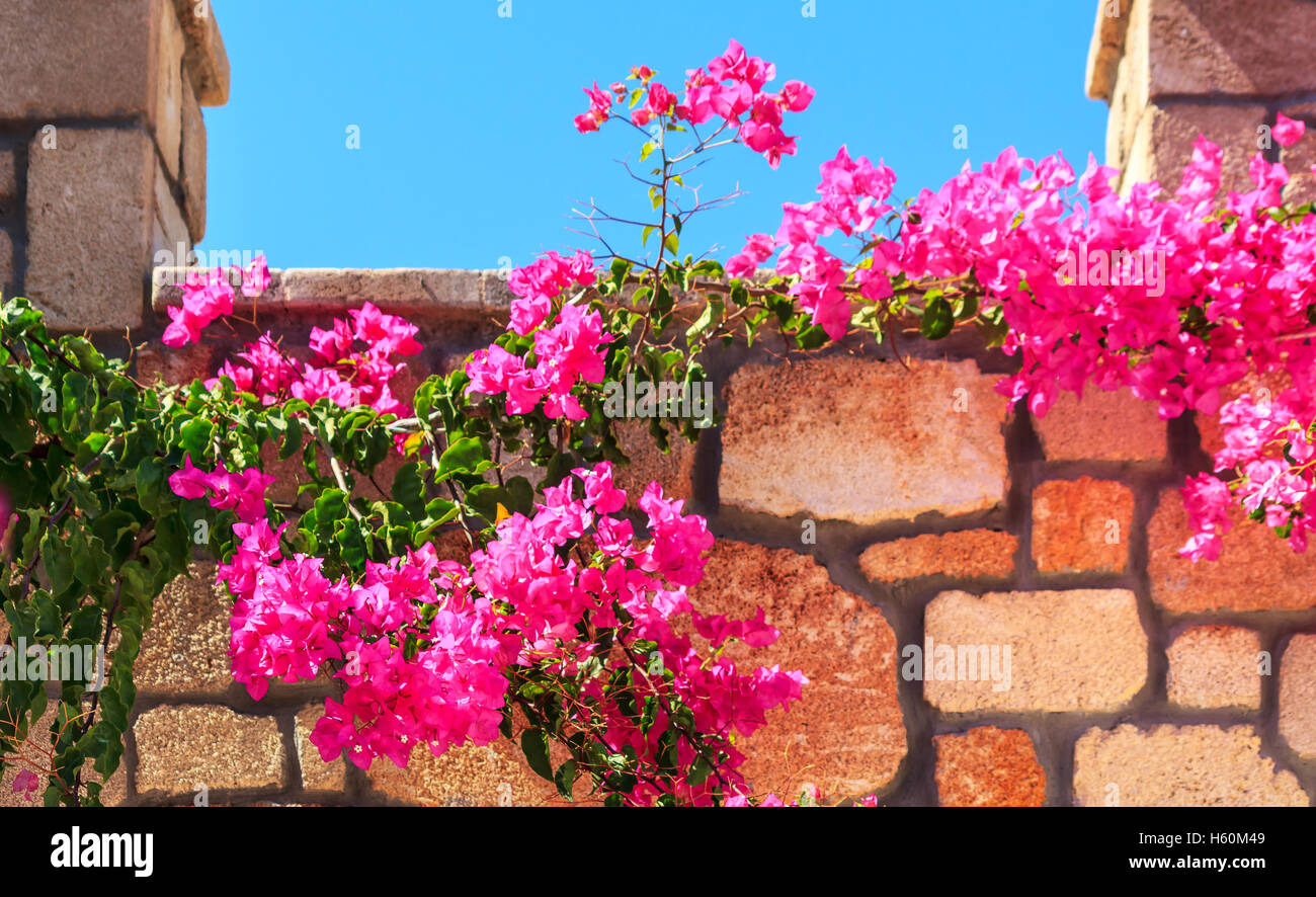 Radiant pink flowering bougainvillea in sunshine - Stock Image