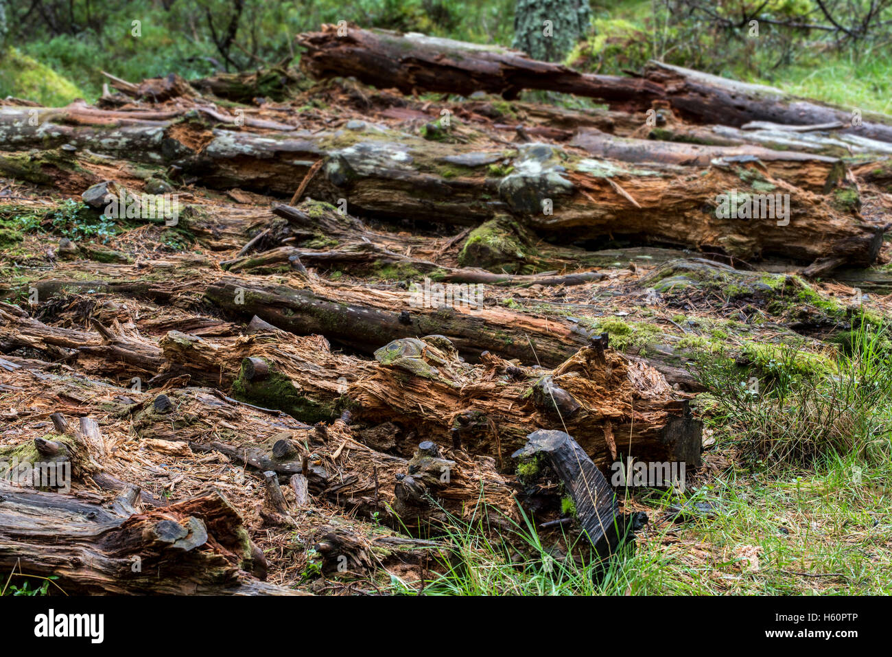 Pile of decaying pine tree trunks left to rot on forest floor as dead wood, habitat for invertebrates, mosses and - Stock Image
