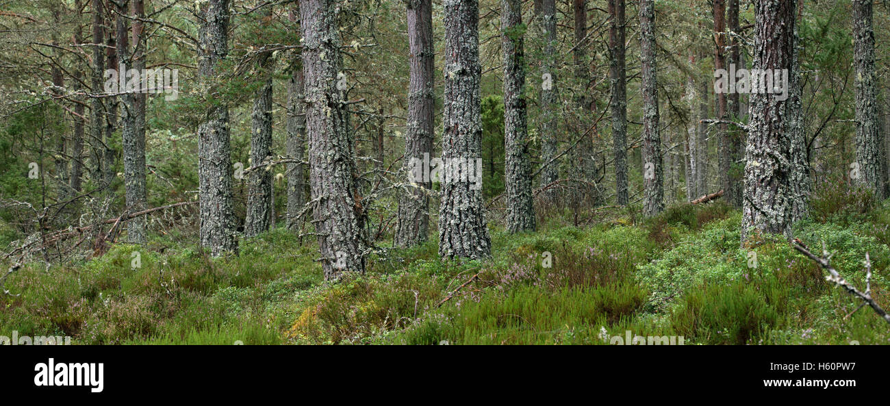Scots Pine (Pinus sylvestris) trees in woodland, Abernethy Forest, remnant of the Caledonian Forest in Strathspey, - Stock Image