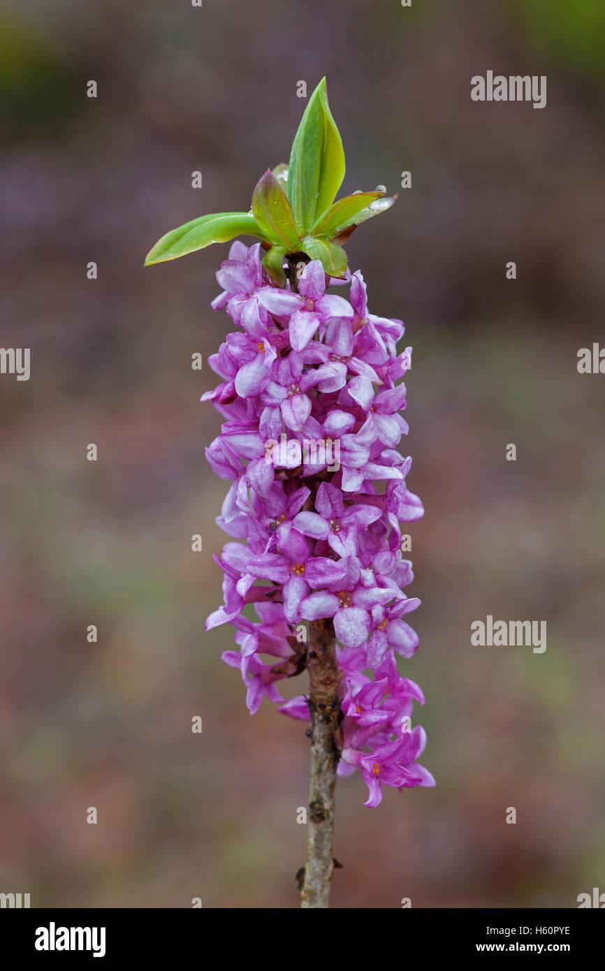 February daphne / mezereon / spurge laurel (Daphne mezereum) flowering in spring - Stock Image