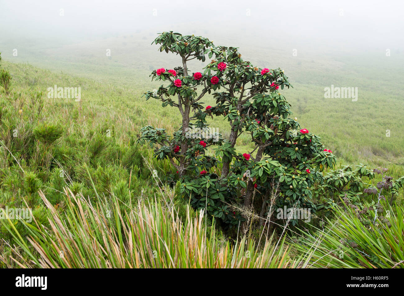 Rhododendron, Rhododendron arboreum, Horton Plains National Park, Sri Lanka - Stock Image