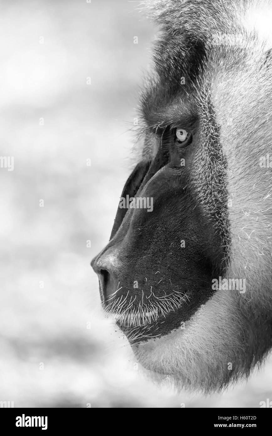 Drill Monkey (Mandrillus Leucophaeus) Portrait - Stock Image