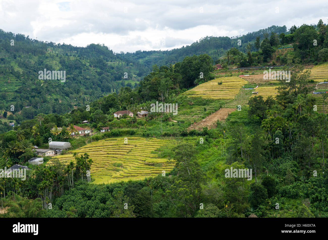 Tea plantations around Uva Halpewatte tea factory, Ella, Sri Lanka - Stock Image