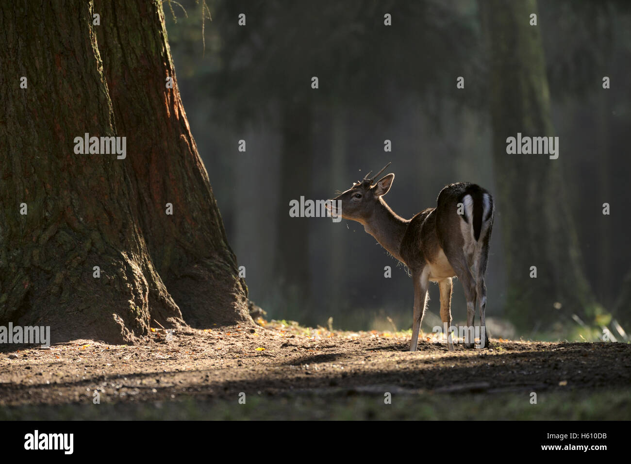 Fallow Deer / Damhirsch ( Dama dama ) standing on a clearing, dark woods, flehming, threatening in spotlight, typical Stock Photo