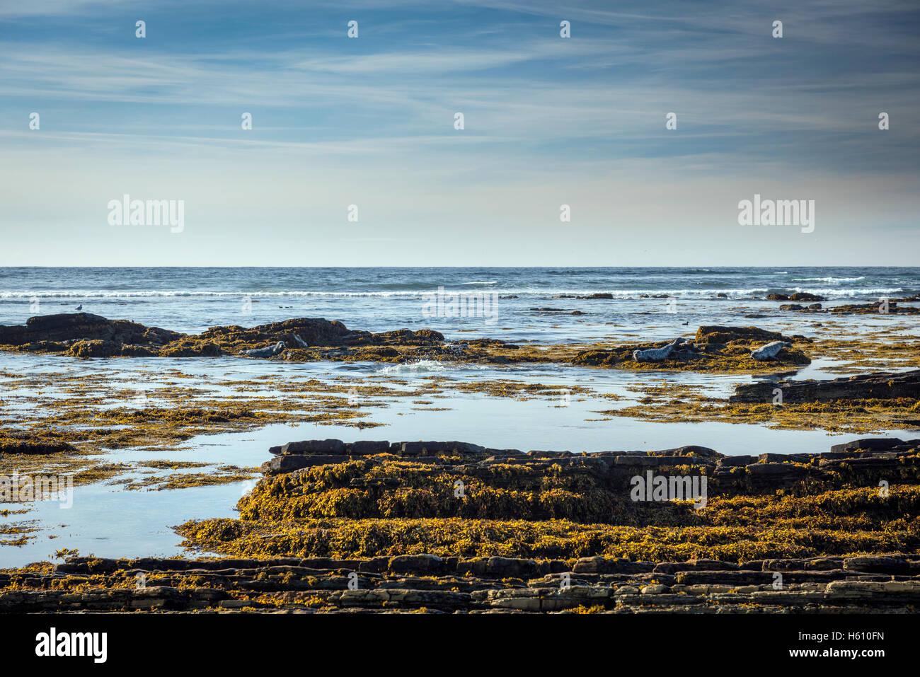 Seals basking on the rocks at Birsay Bay, Mainland Orkney, Scotland, UK - Stock Image