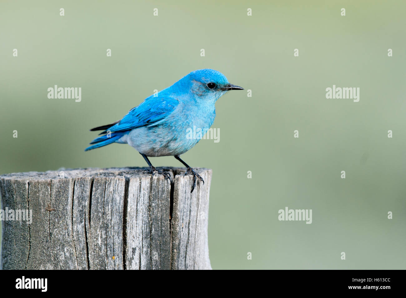 Male mountain bluebird (Sialia currucoides) perched on fencepost, Elmore County, Idaho - Stock Image