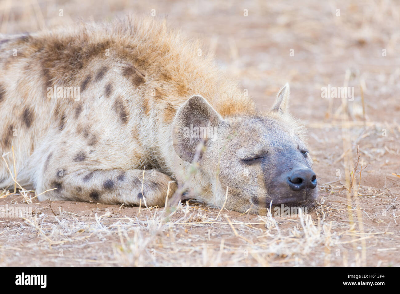 Close up and portrait of a cute Spotted Hyena lying down in the bush. Wildlife Safari in Kruger National Park, the Stock Photo