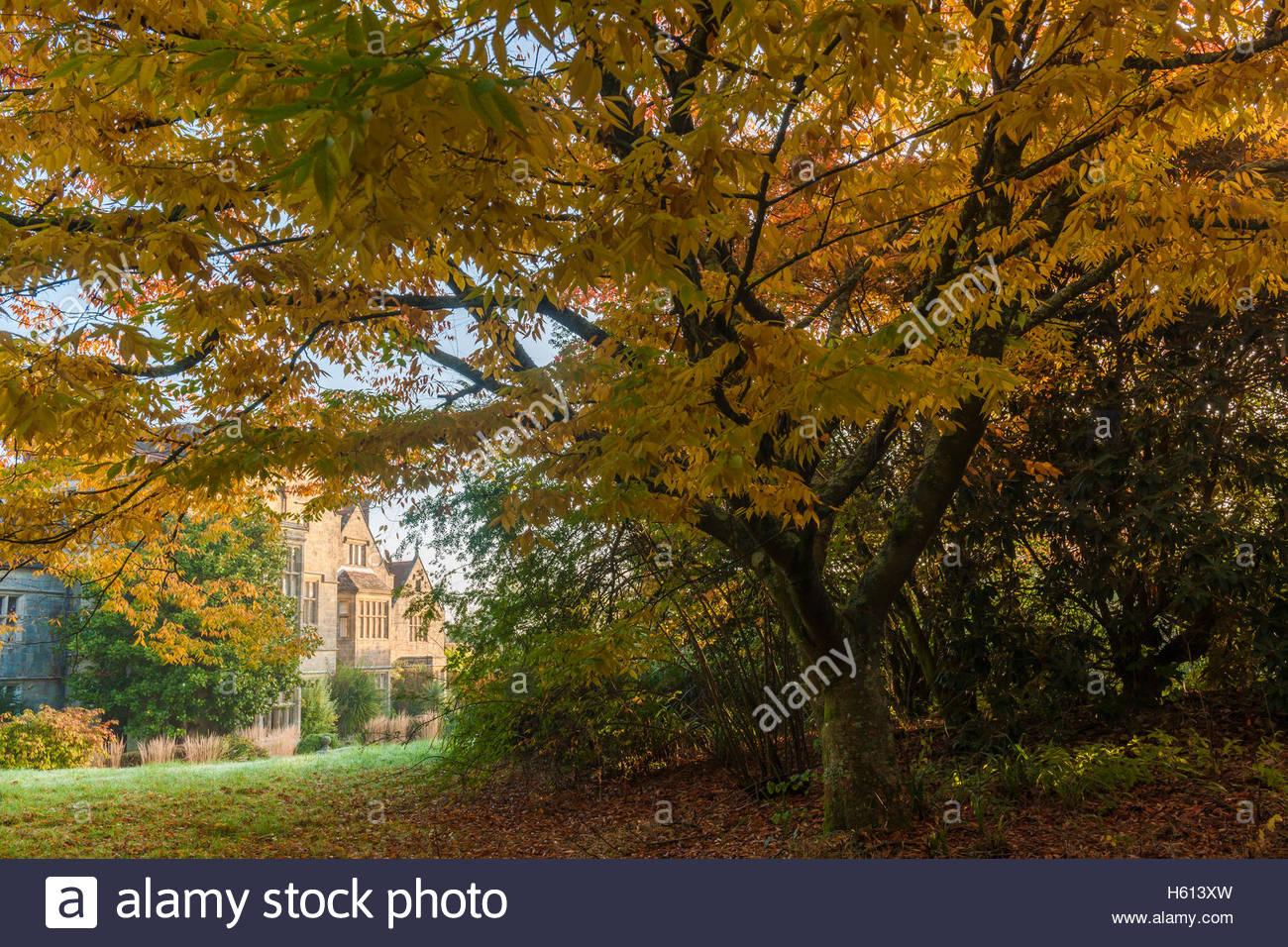 Zelkova serrata tree Japanese keaki in autumn - Stock Image