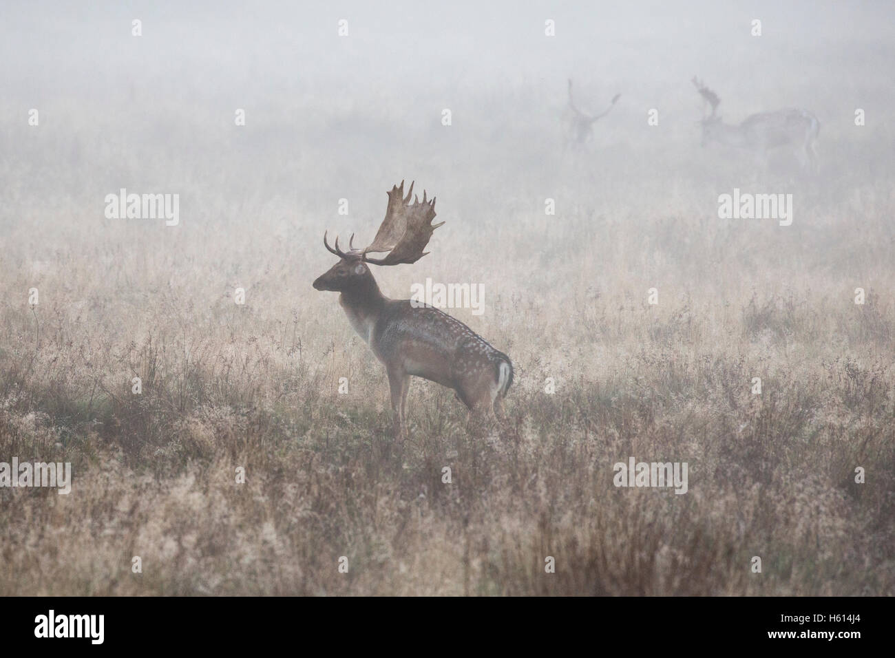 Fallow deer Dama dama a buck standing close in the early morning mist during the rut at Petworth ,West Sussex England - Stock Image