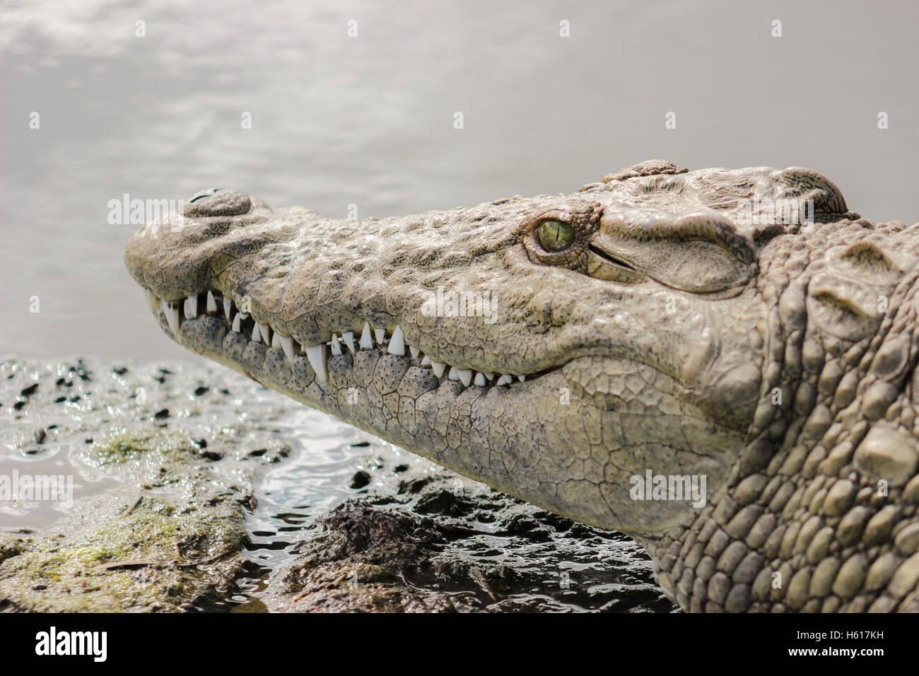Nile crocodile closeup portrait in Kruger Natioanal park - Stock Photo