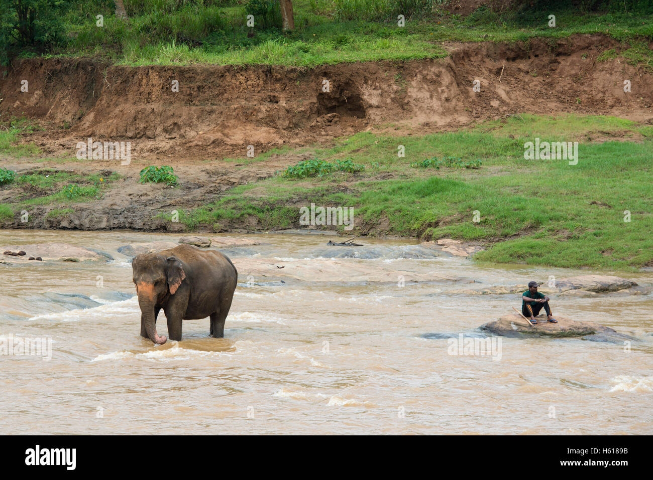Handler and Asian elephant in the river, Pinnawala Elephant Orphanage, Sri Lanka - Stock Image