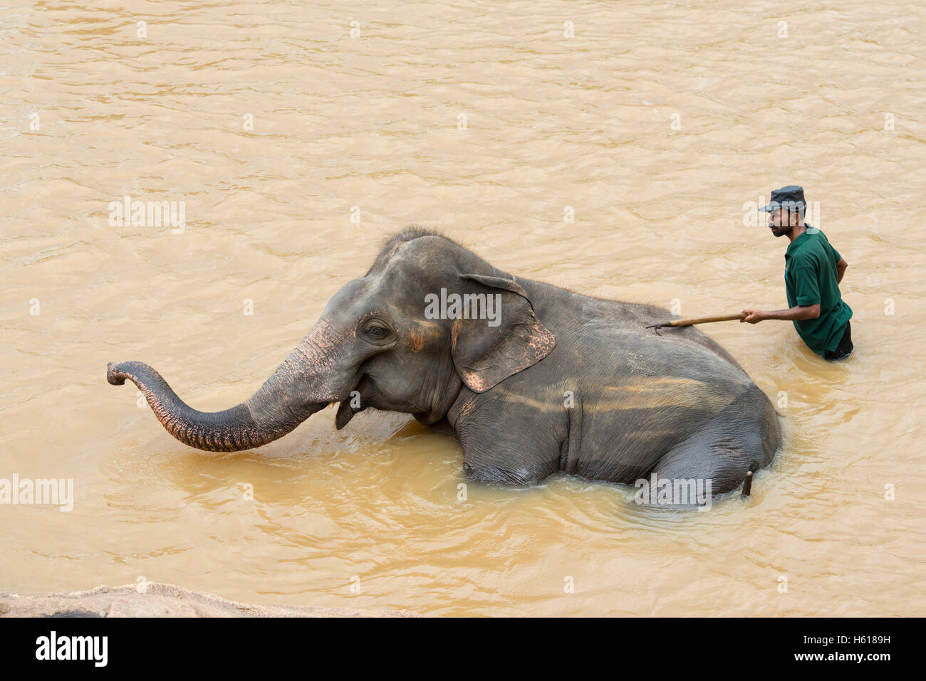 Handler washing Asian elephant in the river, Pinnawala Elephant Orphanage, Sri Lanka - Stock Image
