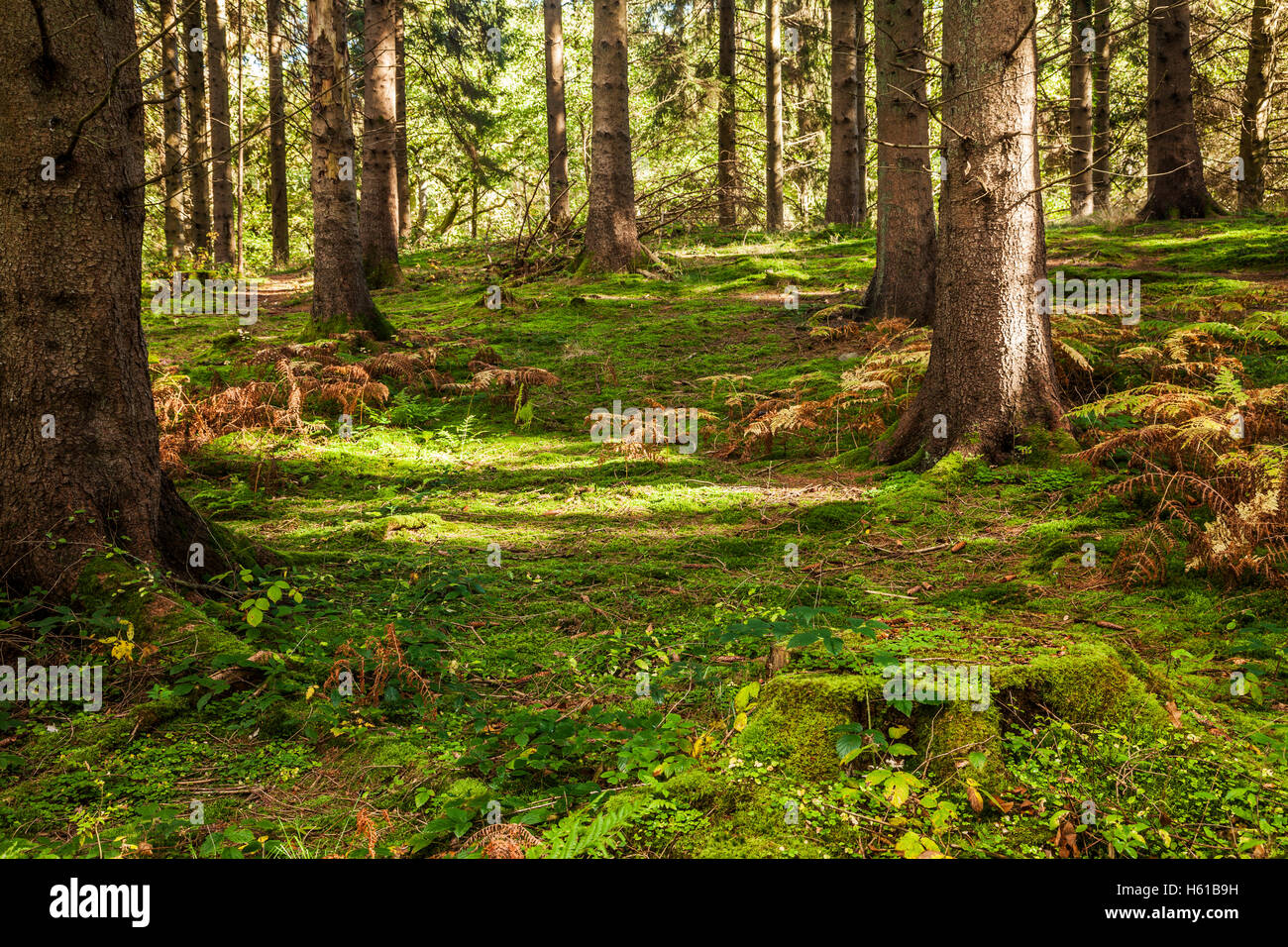 Dappled sunlight through coniferous trees in the Forest of Dean, Gloucestershire. - Stock Image