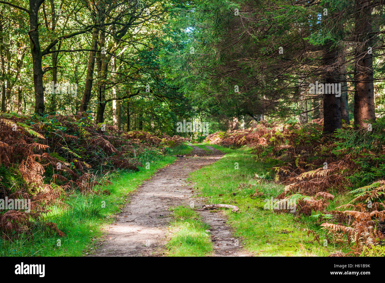 Woodland path through the Forest of Dean, Gloucestershire. - Stock Image