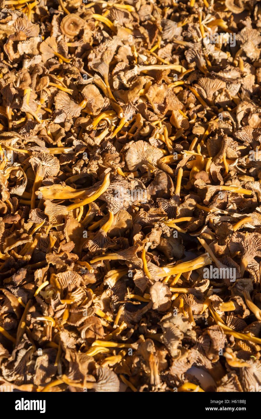 fresh raw chanterelle mushrooms in helsinki market display on sunny day - Stock Image