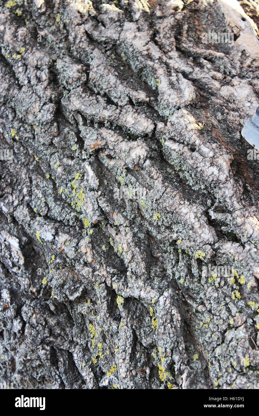 detailed image of the texture of the tree bark of an old withered tree - Stock Image