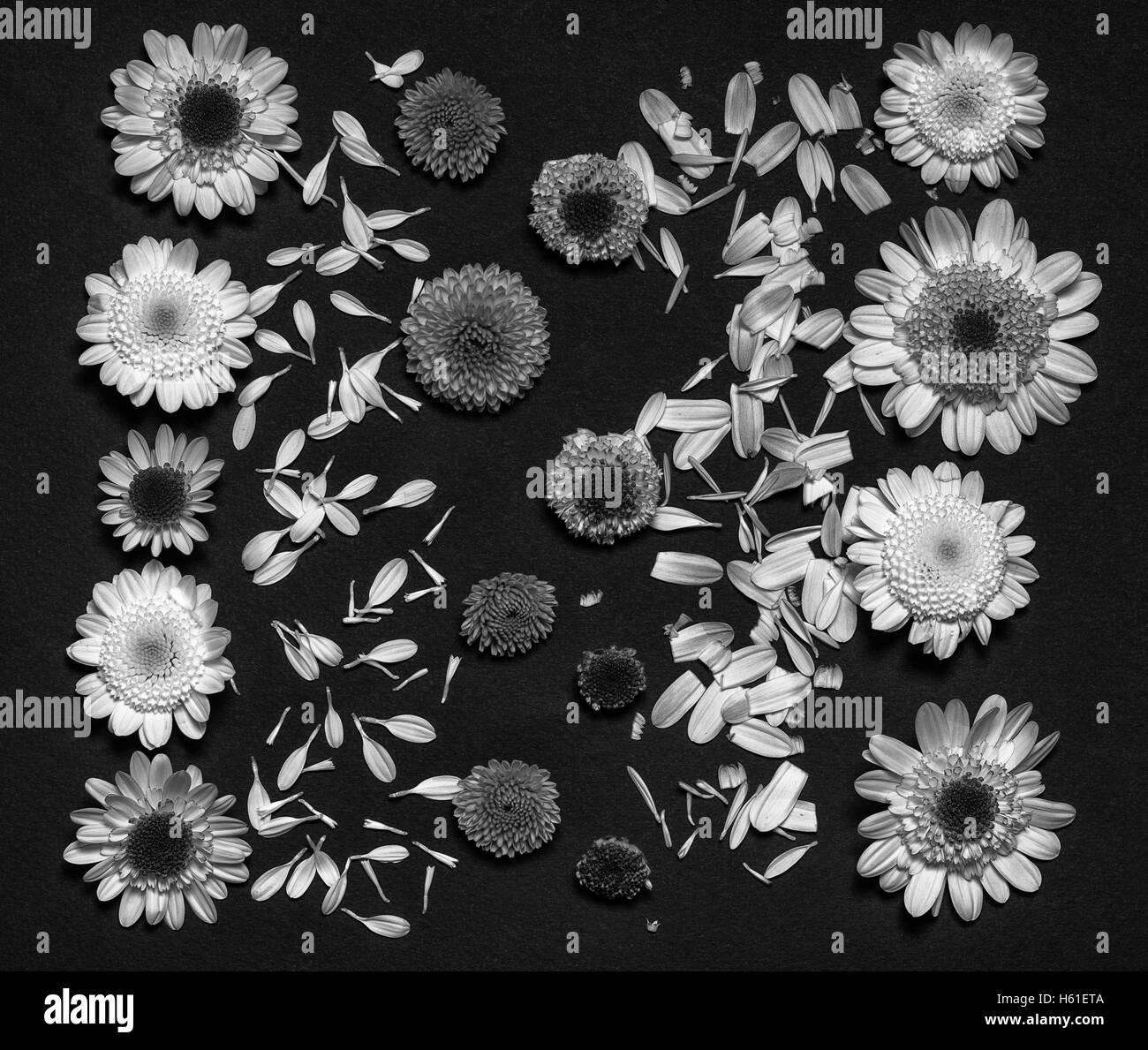 Chrysanthemum Black And White Stock Photos Images Alamy