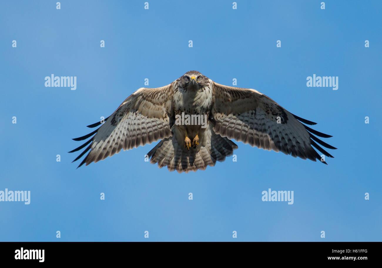 common buzzard in flight - Stock Image