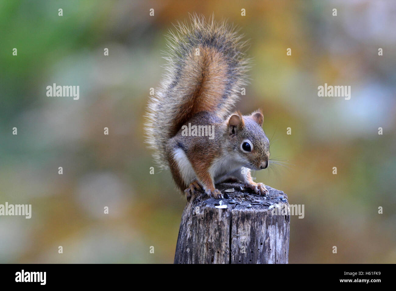 An American red squirrel (Tamiasciurus hudsonicus) sitting on a fence post in Fall - Stock Image