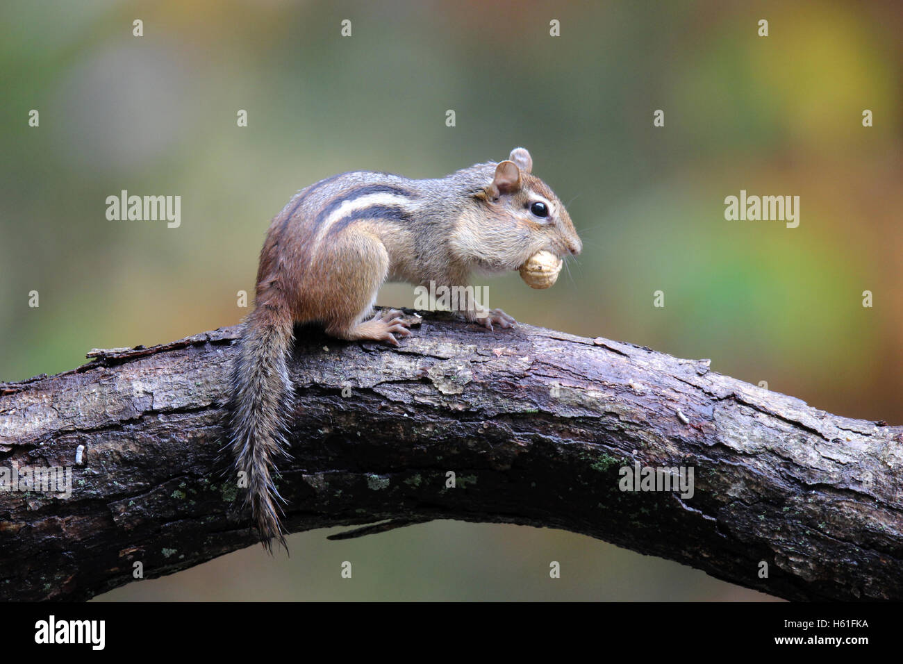 An eastern chipmunk (Tamias striatus) in Fall carrying a nut in it's mouth to store away for winter - Stock Image