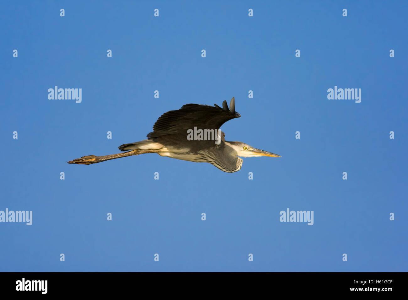 Grey Heron (Ardea cinerea), St. Lucia Wetland National Park, South Africa, Africa Stock Photo