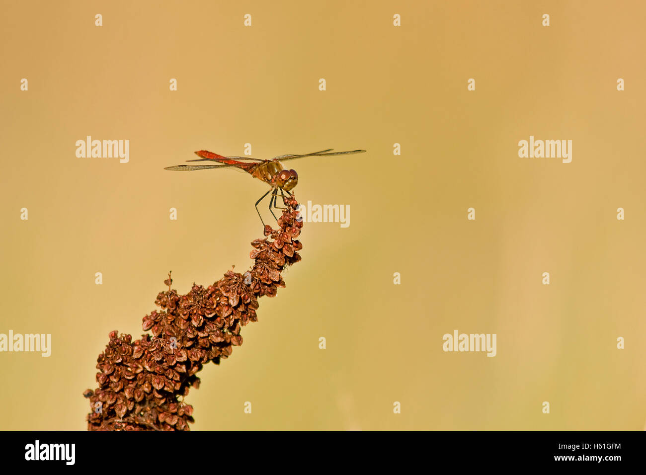 Dragonfly on a dried plant - Stock Image