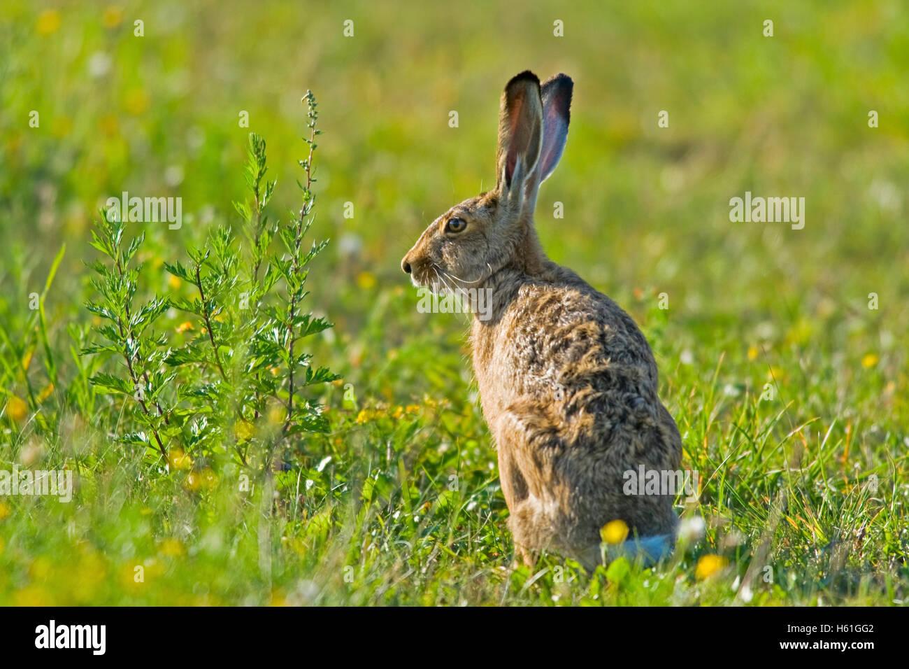 Hare (Lepus europaeus), Apetlon, Burgenland, Austria, Europe - Stock Image
