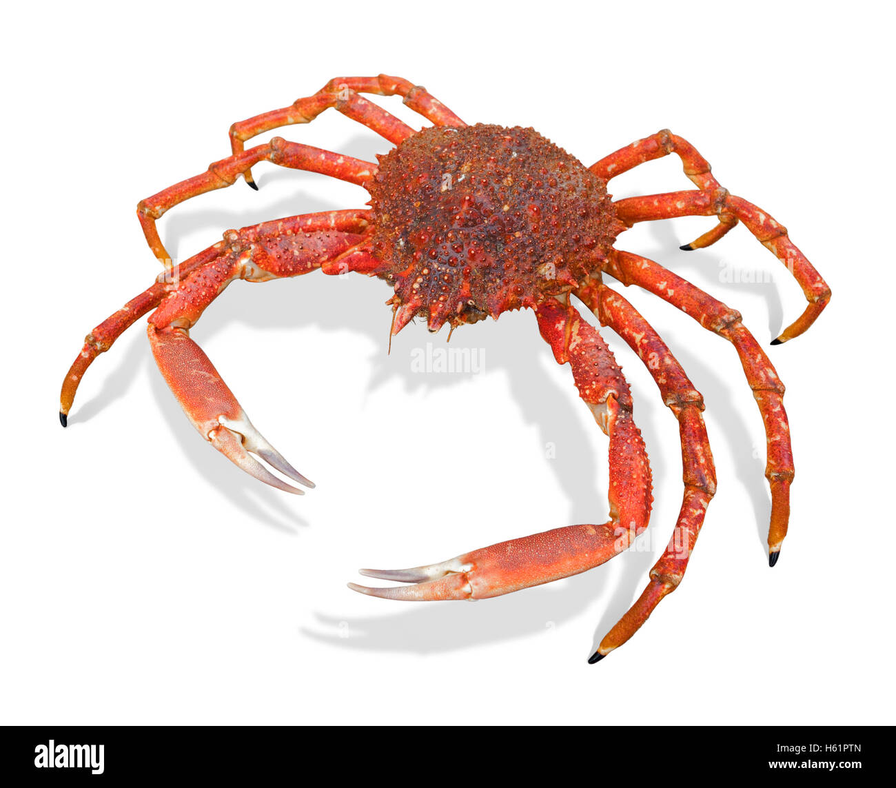 a european spider crab in white back with shadow - Stock Image