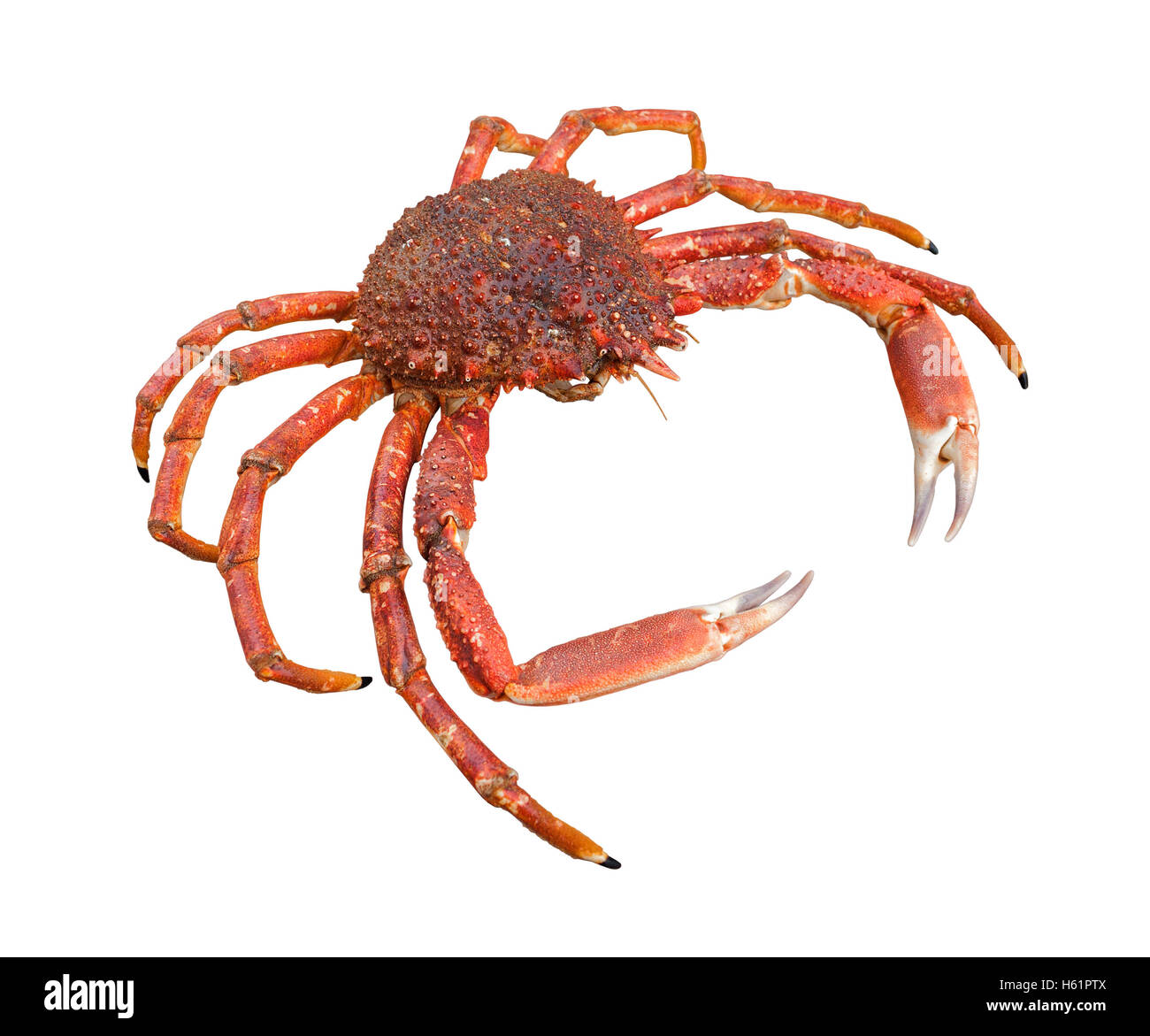 a european spider crab in white back - Stock Image