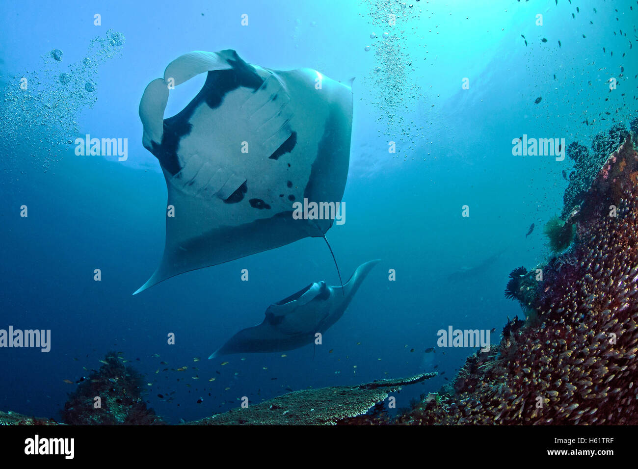 Manta rays soar over coral reef. - Stock Image