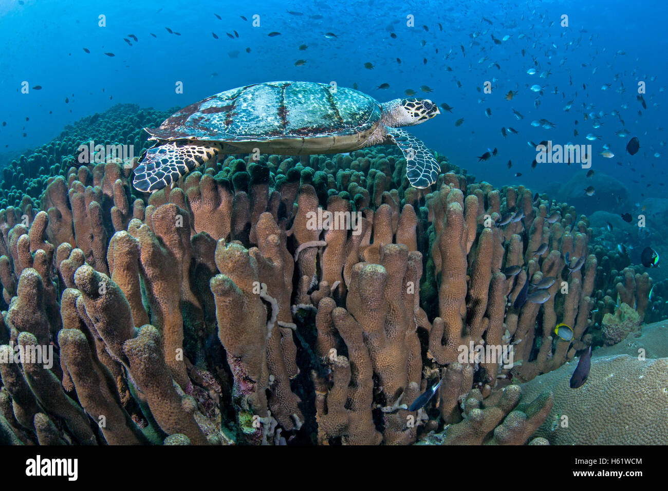 Hawksbill sea turtle swims over coral reef. - Stock Image