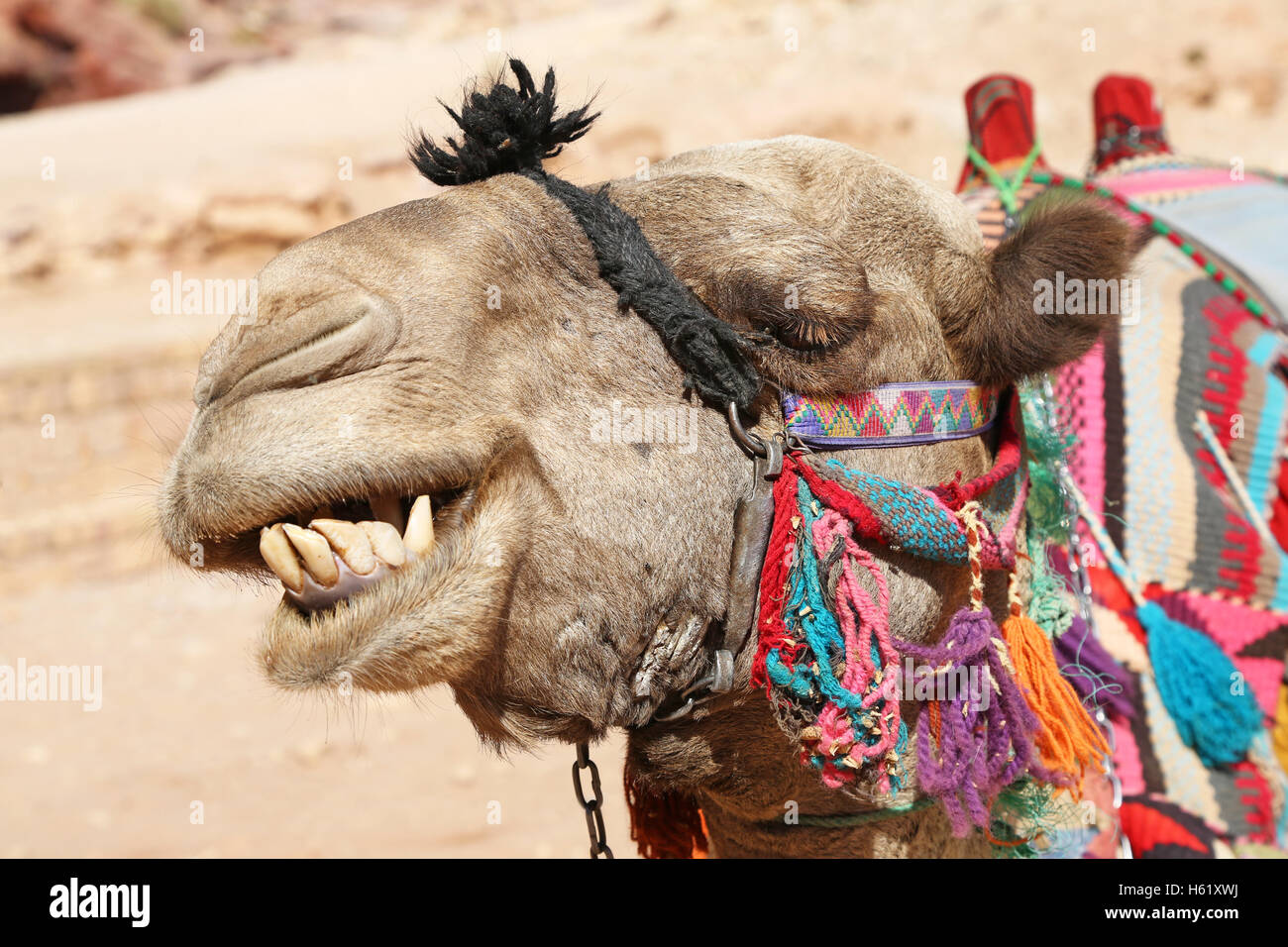 Camel in the rock city of Petra, Jordan - Stock Image