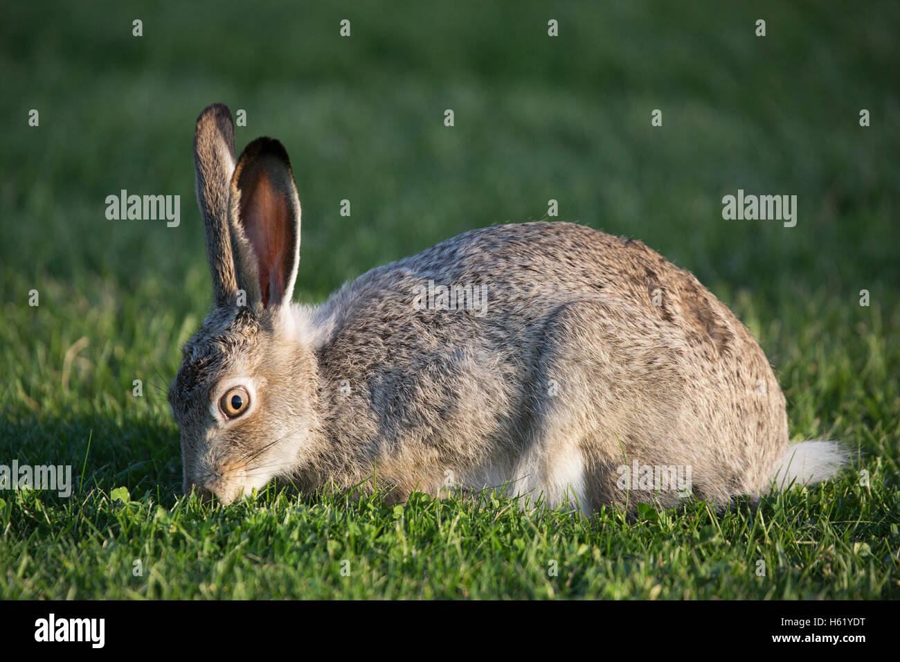 White tailed Jackrabbit (Lepus townsendi) grazing on urban lawn - Stock Image