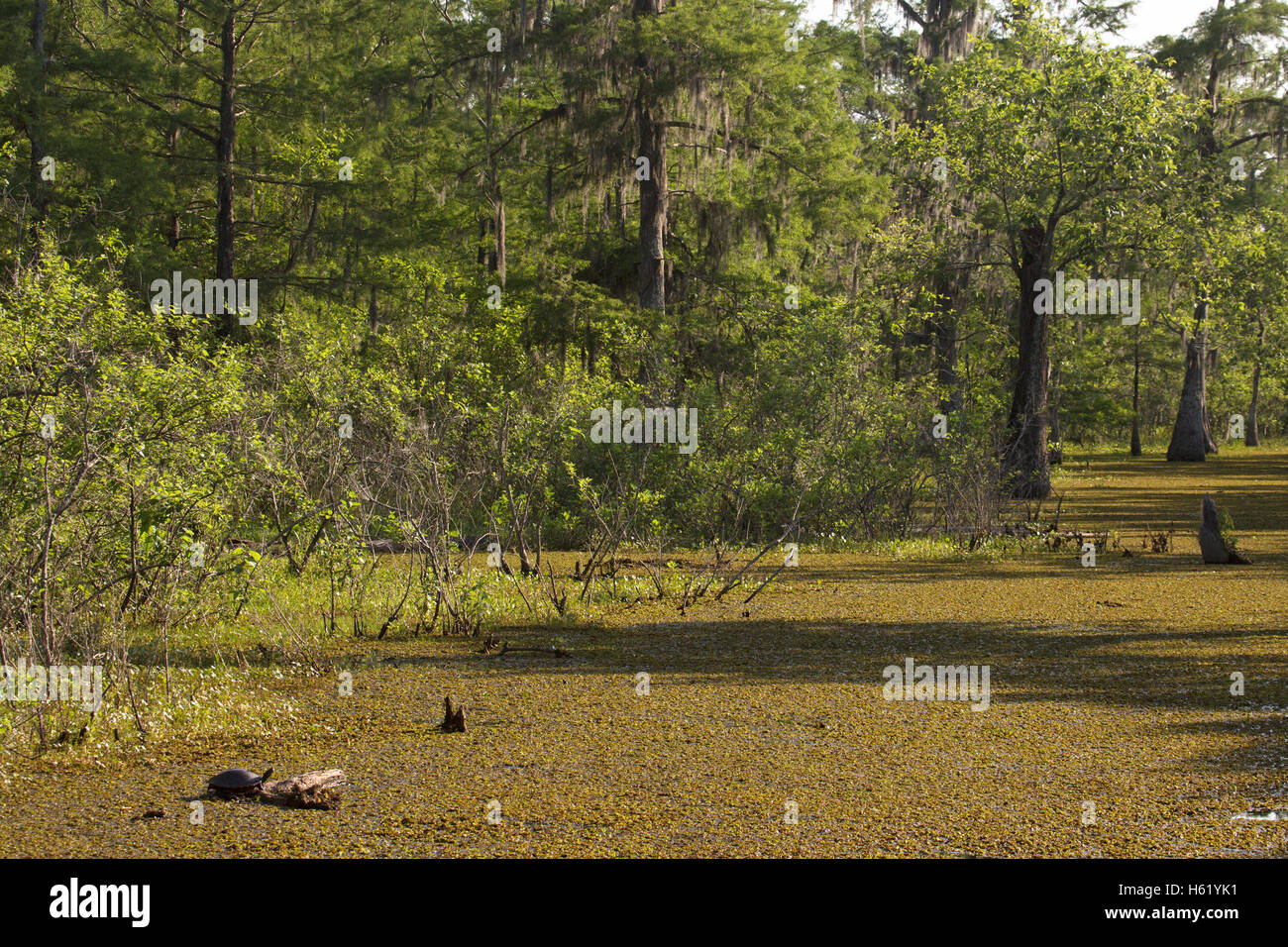 Louisiana bayou, water surface covered by Salvinia, an invasive plant. Turtle in foreground. - Stock Image