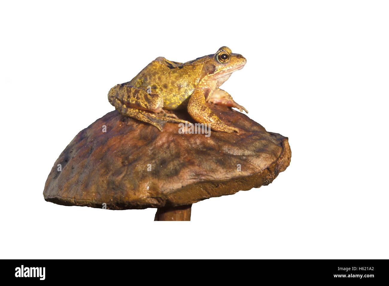 Common frog, Rana temporaria, single reptile on toadstool - Stock Image
