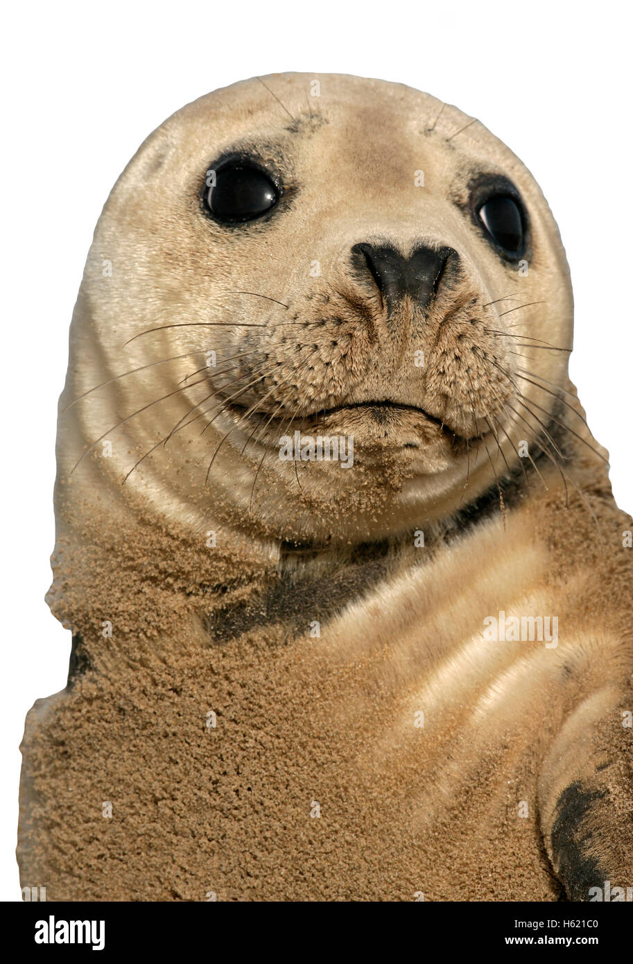 Grey seal, Halichoerus grypus, single mammal by water, Lincolnshire Stock Photo