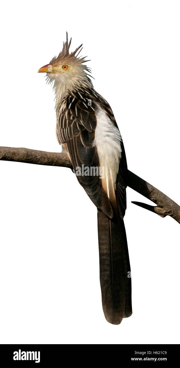 Guira cuckoo, Guira guira, single bird on branch,  Brazil - Stock Image