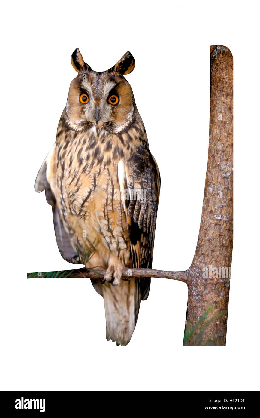 Long-eared owl,  Asio otus, single bird on branch - Stock Image