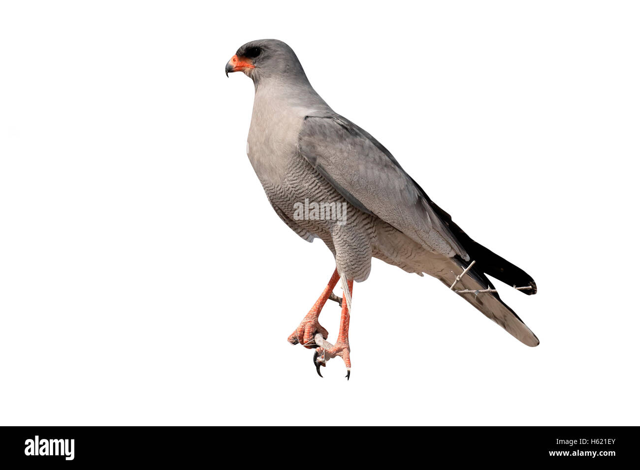 Pale chanting-goshawk, Melierax canorus, single bird on branch, South Africa, August 2016 - Stock Image