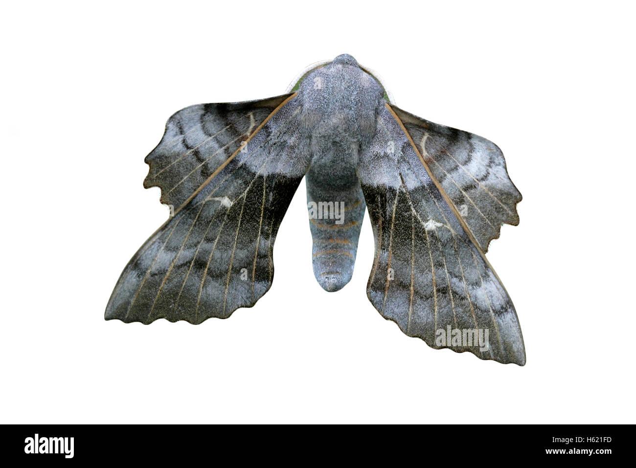 Poplar-hawk moth, Laothoe populi, single insect on perch - Stock Image