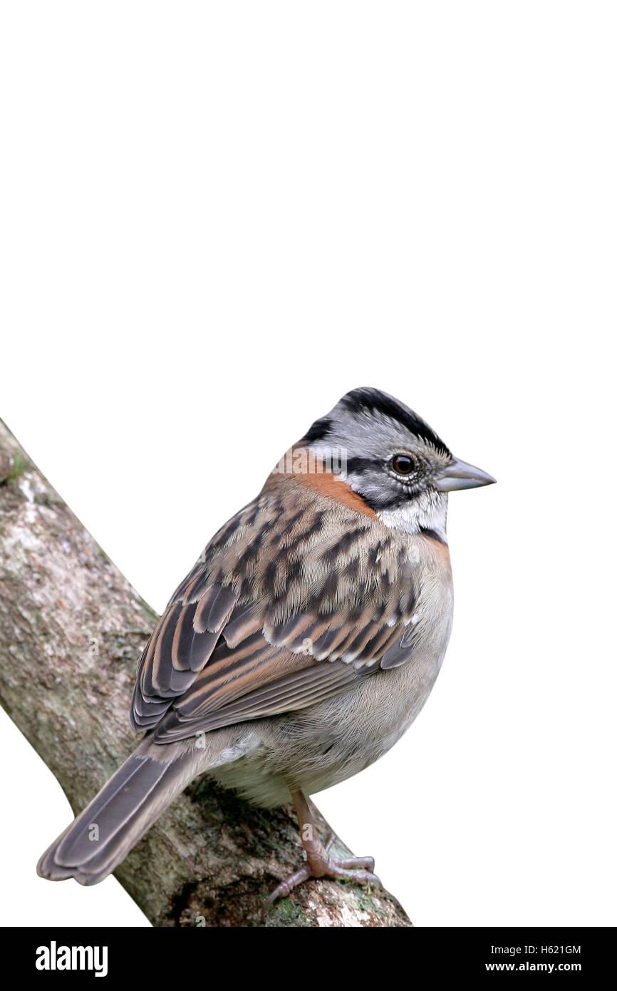 Rufous-collared sparrow, Zonotrichia capensis, single bird on perch, Brazil Stock Photo