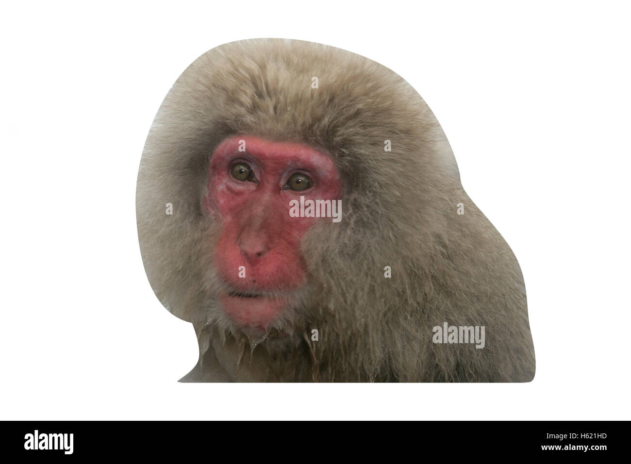 Snow monkey or Japanese macaque, Macaca fuscata, single mammal by water, Japan Stock Photo