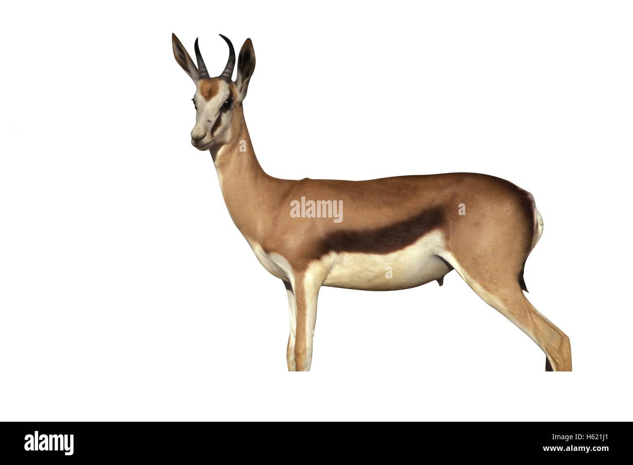 Springbuck or Springbok,  Antidorcas marsupialis, single mammal, Namibia - Stock Image